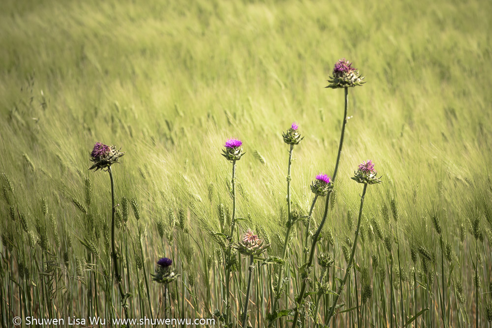 Thistles and wheat along Vineyard Road, Paso Robles, California. April 2016.